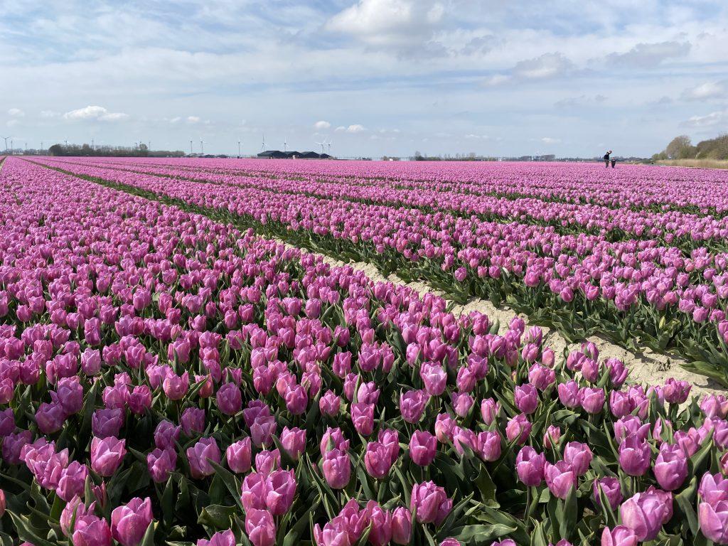 Tulpen bekijken in Goeree-Overflakkee